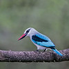 Wary Woodland Kingfisher