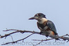 Belted Kingfisher (b1222)