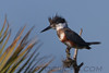 Belted Kingfisher (b1221)