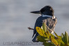 Belted Kingfisher (b1224)