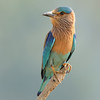 Indian Roller with 300 2.8
