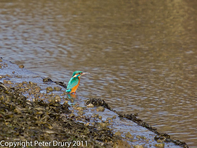 12 December 2010. Kingfisher at Hermitage Stream.  Copyright Peter Drury 2011