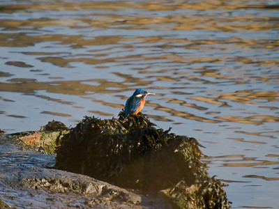 Kingfisher (Alcedo atthis). Copyright 2009 Peter Drury Resting after fishing.at Langstone Harbour.