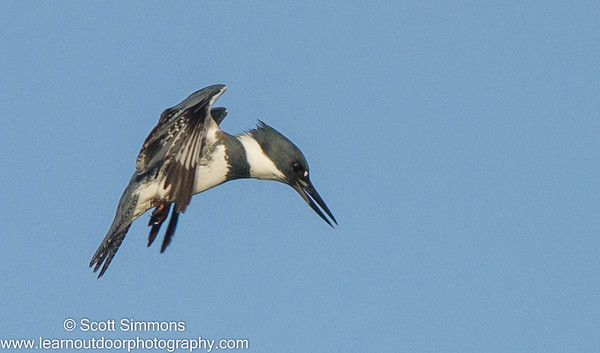 Belsted Kingfisher