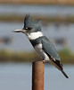 Megaceryle alcyon <br /> Belted Kingfisher, Turner Road in Lodi, CA