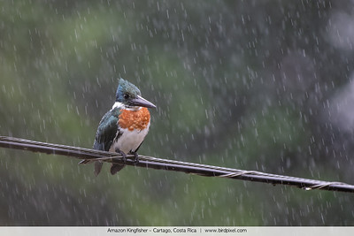 Amazon Kingfisher - Cartago, Costa Rica