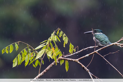 Amazon Kingfisher - Record - Summit Ponds, Colon, Panama
