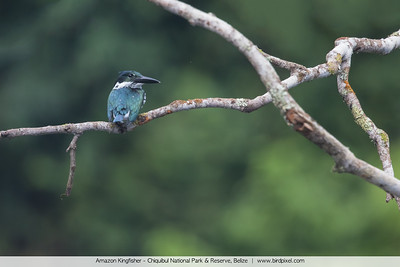 Amazon Kingfisher - Chiquibul National Park & Reserve, Belize