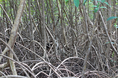 American Pygmy Kingfisher habitat - Nariva Swamp, Trinidad