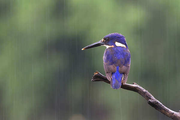Azure Kingfisher (Alcedo azurea). Location: Richmond, New South Wales, Australia. I was thankful for the hide i was in as i sat for hours waiting for this young kingfisher. It then sat motionless, watching the water below intently as the rain steadily fell allowing me to capture this moment.