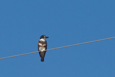Belted Kingfisher - Female - Salton Sea, CA, USA