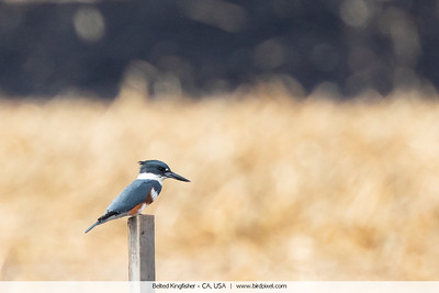 Belted Kingfisher - CA, USA