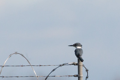 Belted Kingfisher - Male - Record - Lodi area, CA, USA