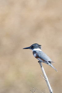 Belted Kingfisher - Female - Record - Lodi area, CA, USA