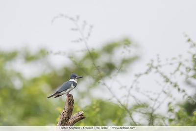 Belted Kingfisher - Crooked Tree, Belize