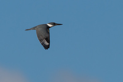 Belted KIngfisher - Miller Knox Regional Shoreline, Richmond, CA, USA