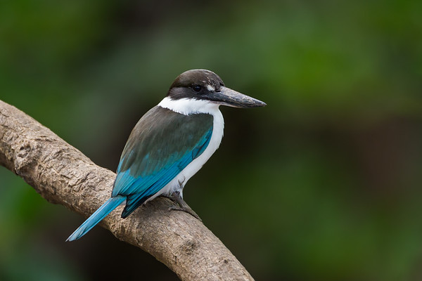 Collared Kingfisher_David Stowe_1130
