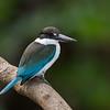 Collared Kingfisher_David Stowe_1130