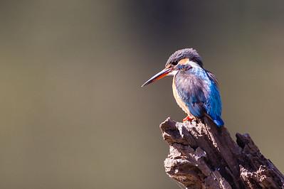 Common Kingfisher - Pench National Park, Madhya Pradesh, India
