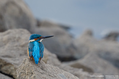 Common Kingfisher - Maharashtra, India