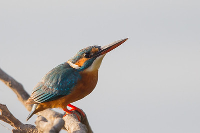 Common Kingfisher - Ambazari garden, Nagpur, India