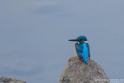 Common Kingfisher - Maharashtra, India