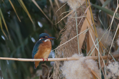 Common Kingfisher - Record shot - Aswan, Egypt