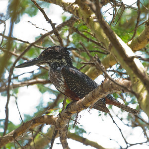 Giant Kingfisher - Lake Nakuru National Park, Kenya