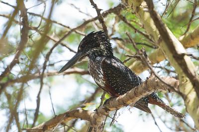 Giant Kingfisher - Lake Nakuru National Park, Kenya