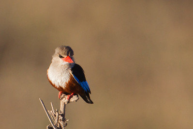 Grey-headed Kingfisher - Amboseli National Park, Kenya