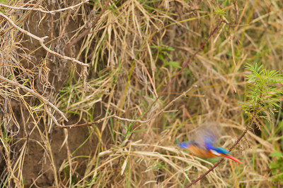 Malachite Kingfisher - Ngorongoro Crater, Tanzania