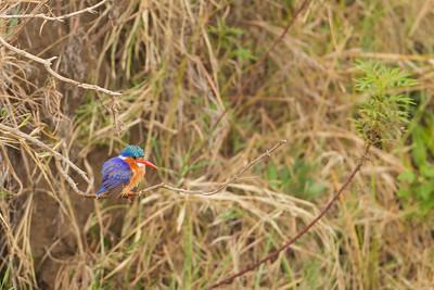 Malachite Kingfisher - Record - Ngorongoro Crater, Tanzania