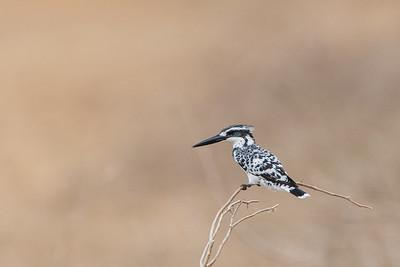 Pied Kingfisher - Kutch, Gujrat, India