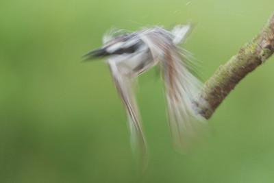 Pied Kingfisher - Abstract - Lake Nakuru National Park, Kenya