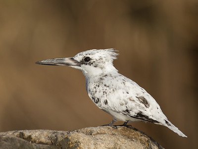 Leucistic Pied Kingfisher - Aswan, Egypt