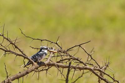 Pied Kingfisher with catch - Lake Nakuru National Park, Kenya