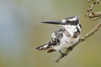 Pied Kingfisher - Lake Nakuru National Park, Kenya