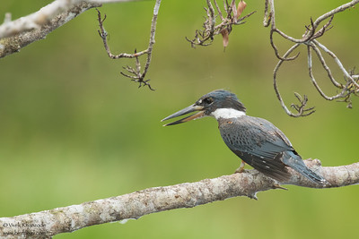 Ringed Kingfisher - Amazon, Ecuador