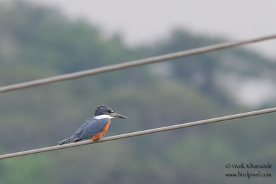 Ringed Kingfisher - Record - Rio Tarcoles, Costa Rica