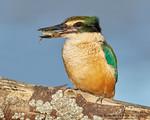 Sacred / New Zealand Kingfisher (Todiramphus sanctus)