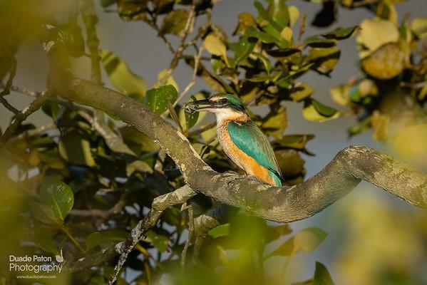 Sacred Kingfisher / kōtare