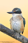 Sacred / New Zealand Kingfisher (Todiramphus sanctus)