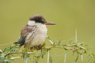 Striped Kingfisher - Lake Nakuru National Park, Kenya