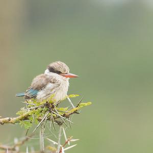 Striped Kingfisher - Lake Nakuru National Park, Kenya