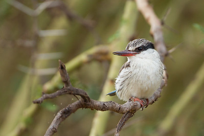 Striped Kingfisher - Lake Manyara National Park, Tanzania