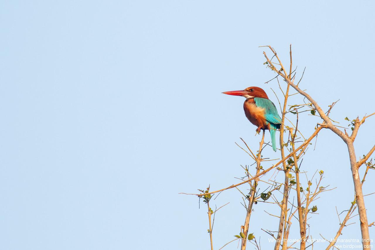 White-throated Kingfisher - Maharashtra, India