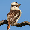 Female Laughing Kookaburra (Dacelo novaeguineae)