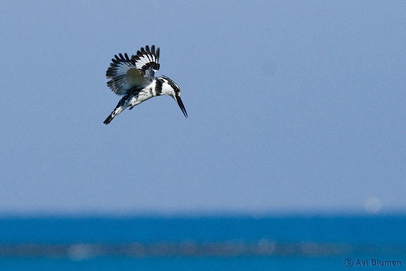 pied kingfisher male פרפור עקוד זכר