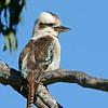 Male Laughing Kookaburra (Dacelo novaeguineae)