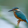 Common kingfisher שלדג גמדי